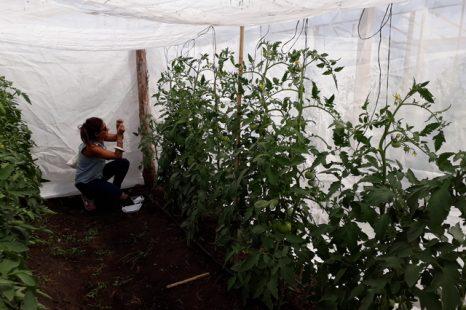 Avispas para control biológico de plagas en el tomate