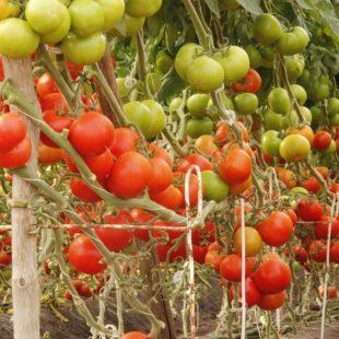 Mañana celebrarán la 17° feria del tomate platense