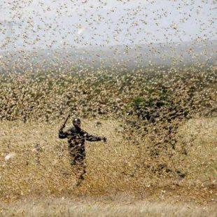 Un científico platense desarrolló un insecticida biológico contra las langostas