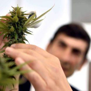 La UNLP está autorizada a plantar cannabis con fines científicos